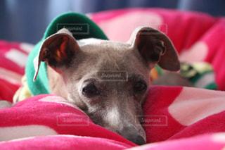 赤い毛布を着ている犬の写真・画像素材[1253737]