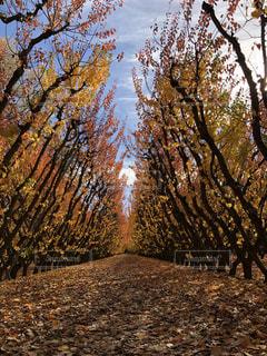 アプリコットの木々の写真・画像素材[1598801]