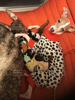 犬,部屋,のんびり,愛犬,ミニピン,イタグレ