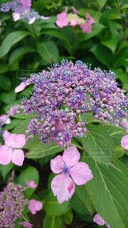 紫陽花のクローズアップの写真・画像素材[4518915]