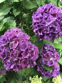 雨,紫陽花