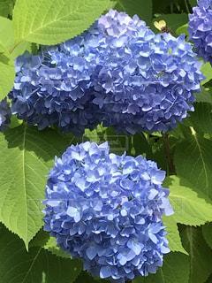 自然,花,屋外,緑,植物,綺麗,あじさい,青,紫陽花,梅雨,アジサイ,キレイ