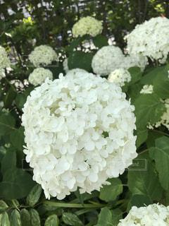 自然,花,屋外,緑,植物,白,かわいい,綺麗,あじさい,紫陽花,可愛い,花壇,梅雨,マンション,アジサイ,キレイ