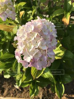 花,ピンク,白,綺麗,紫陽花,初夏,梅雨,草木,皐月,水無月