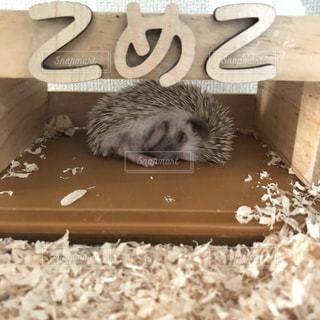 家,ハリネズミ,可愛い,お昼寝,のんびり,哺乳類,こめ子