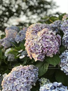 花,紫陽花,梅雨,夕やけ,アジサイ