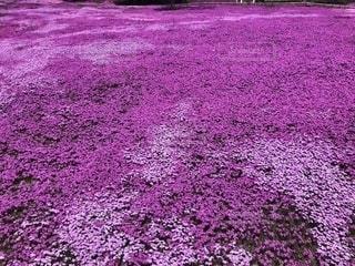 ピンク,北海道,芝桜,pink,滝上