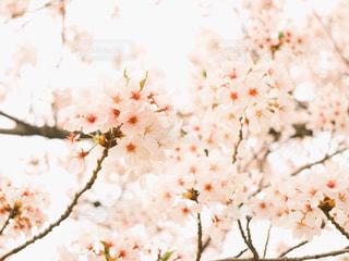 sakuraの写真・画像素材[1490730]