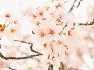 花,桜,ピンク,cherry blossom,草木,ブロッサム,ももいろ