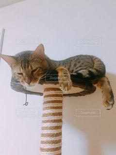 猫,部屋,ねこ,キャットタワー,のんびり,ベンガル
