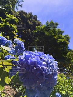 京都,紫陽花,長岡京市,柳谷観音