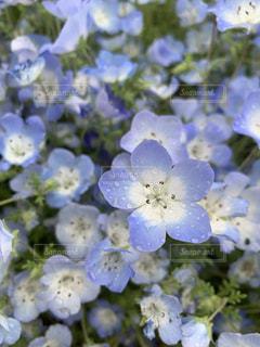 花,青,水,水滴,ネモフィラ