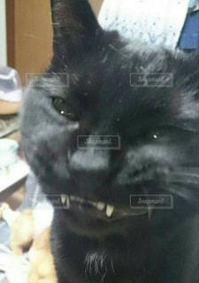 カメラを見ている猫の写真・画像素材[1210938]