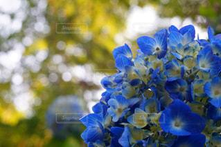 花,あじさい,紫陽花,梅雨,6月,玉ボケ,アジサイ