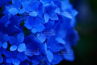 花,あじさい,水滴,紫陽花,雫,梅雨,草木,アジサイ