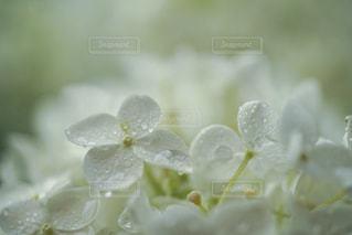 雨,あじさい,水滴,紫陽花,雫,梅雨,アジサイ