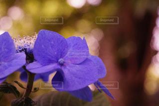 花,あじさい,紫,紫陽花,梅雨,アジサイ