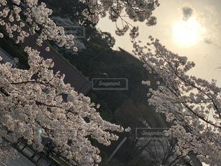 夕日,桜,癒し,日本,幸せ,休日,インスタ映え