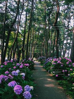 紫陽花のアーチの写真・画像素材[1217556]