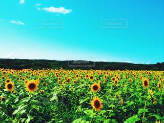 向日葵畑の写真・画像素材[1217659]