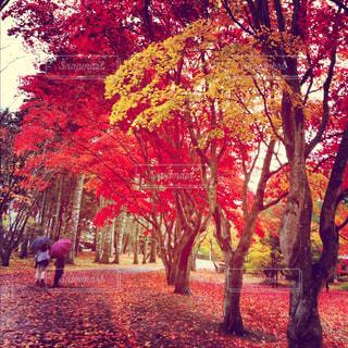 秋,紅葉,もみじ,北海道,落ち葉,函館,秋雨,香雪園