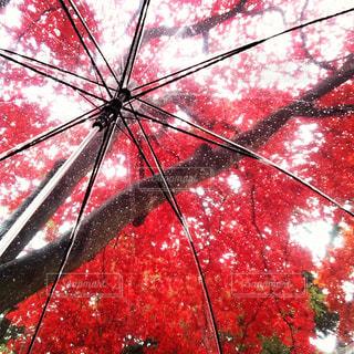 秋,紅葉,雨,傘,赤,もみじ,北海道,落ち葉,函館,秋雨,香雪園