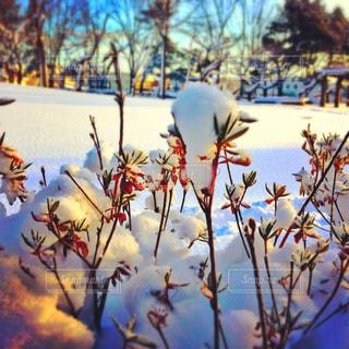 公園,冬,雪,白,散歩,北海道,草木,綿帽子