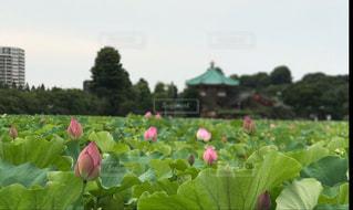 雨,上野,蓮,蓮の花,梅雨,不忍池,上野恩賜公園,梅雨時,インスタ映え