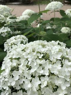 花,雨,白,あじさい,景色,6月,草木