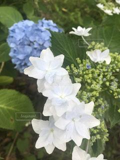 自然,花,雨,あじさい,紫陽花,6月,草木,アジサイ