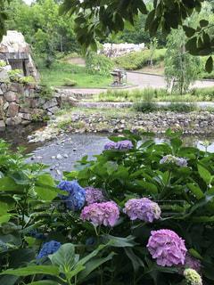 花,雨,あじさい,水,景色,紫陽花,6月,草木,アジサイ