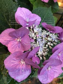 花,雨,あじさい,水,鮮やか,紫陽花,梅雨,6月,草木
