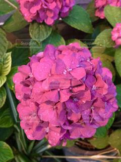 花,雨,あじさい,鮮やか,紫陽花,梅雨,雨露