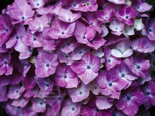 紫の紫陽花の写真・画像素材[1226582]