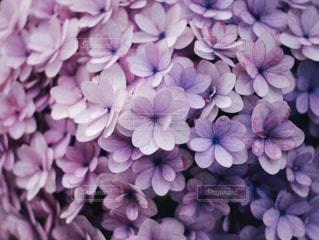 紫の紫陽花の写真・画像素材[1226583]