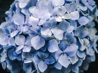青い紫陽花の写真・画像素材[1226590]