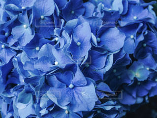 青い紫陽花の写真・画像素材[1226592]