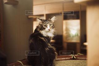 部屋に座っている猫の写真・画像素材[1260461]