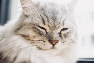 猫のアップの写真・画像素材[1260466]