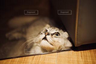 ドヤ顔の猫の写真・画像素材[1290539]