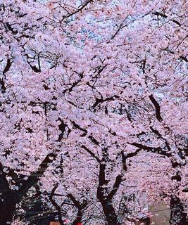 満開の桜の写真・画像素材[1792550]
