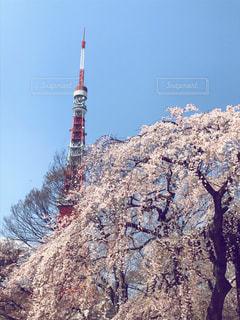 東京タワーと枝垂れ桜の写真・画像素材[1884722]