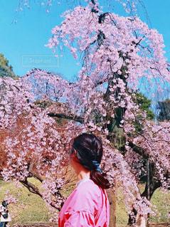 女性,1人,自然,花,春,桜,屋外,ピンク,花見,満開,樹木,お花見,人,イベント,枝垂れ桜,桜の花,さくら,ブロッサム