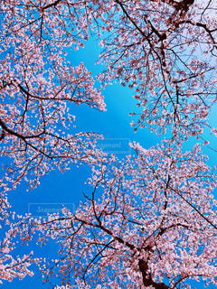 空,花,春,桜,花見,樹木,お花見,イベント,草木,桜の花,さくら,ブロッサム