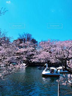 空,花,春,桜,屋外,湖,ボート,水面,池,花見,景色,樹木,お花見,イベント,スワン,さくら