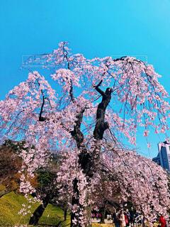 空,花,春,桜,木,屋外,花見,樹木,お花見,イベント,枝垂れ桜,草木,桜の花,さくら,ブロッサム
