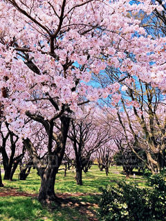 公園,花,春,桜,森林,木,屋外,花見,景色,草,樹木,お花見,イベント,草木,桜の花,さくら,ブロッサム