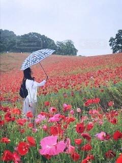 雨のポピー畑の写真・画像素材[3670149]
