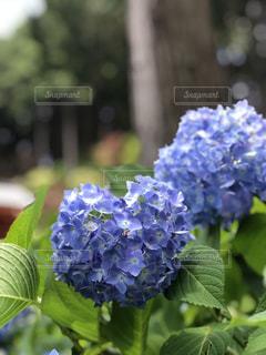 雨,屋外,あじさい,紫陽花,梅雨,六月,ガーデン,6月,ハートのあじさい