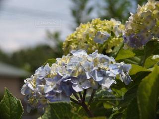 景色,紫陽花,梅雨,草木,アジサイ